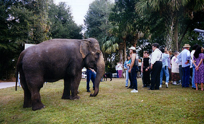 Elephant in the yard